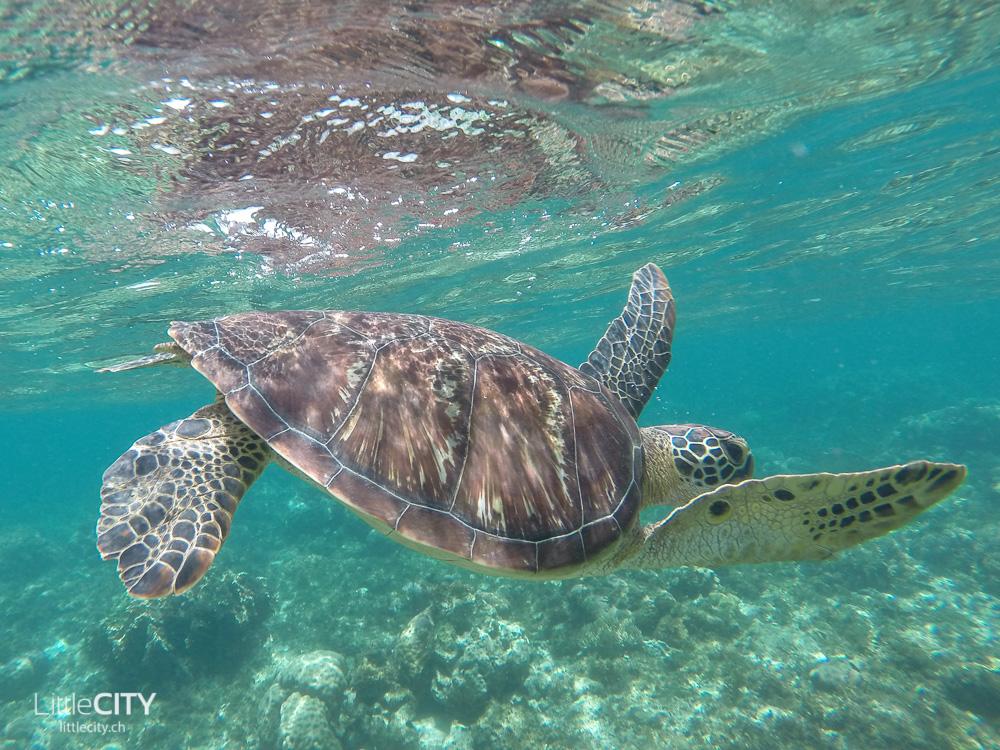 Apo Island Reisetipp: Schildkröten schnorcheln