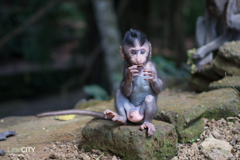Monkey Forest Ubud Babyaffe