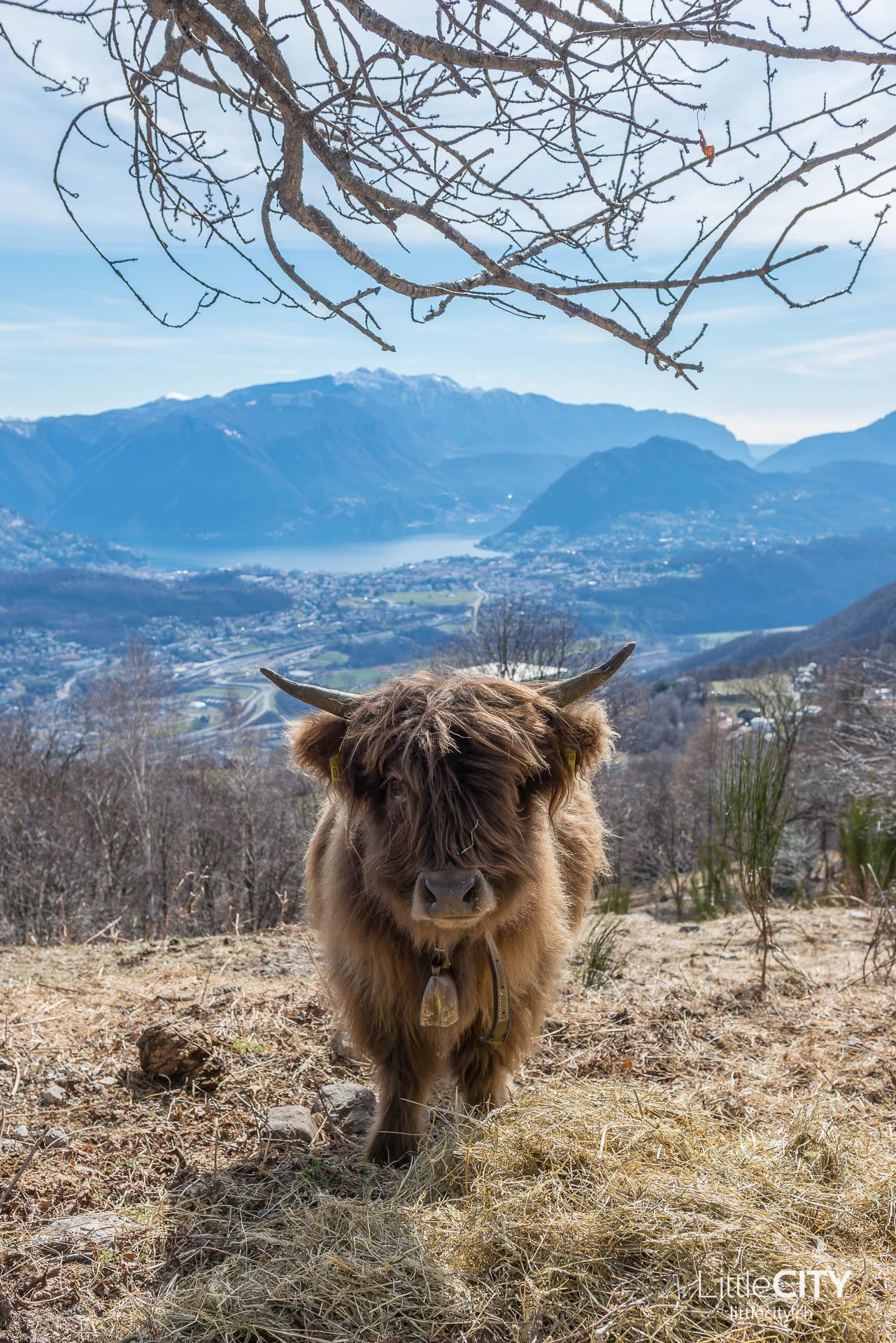 Tessin Sehenswürdigkeiten Arosio Malcantone Highland Cows