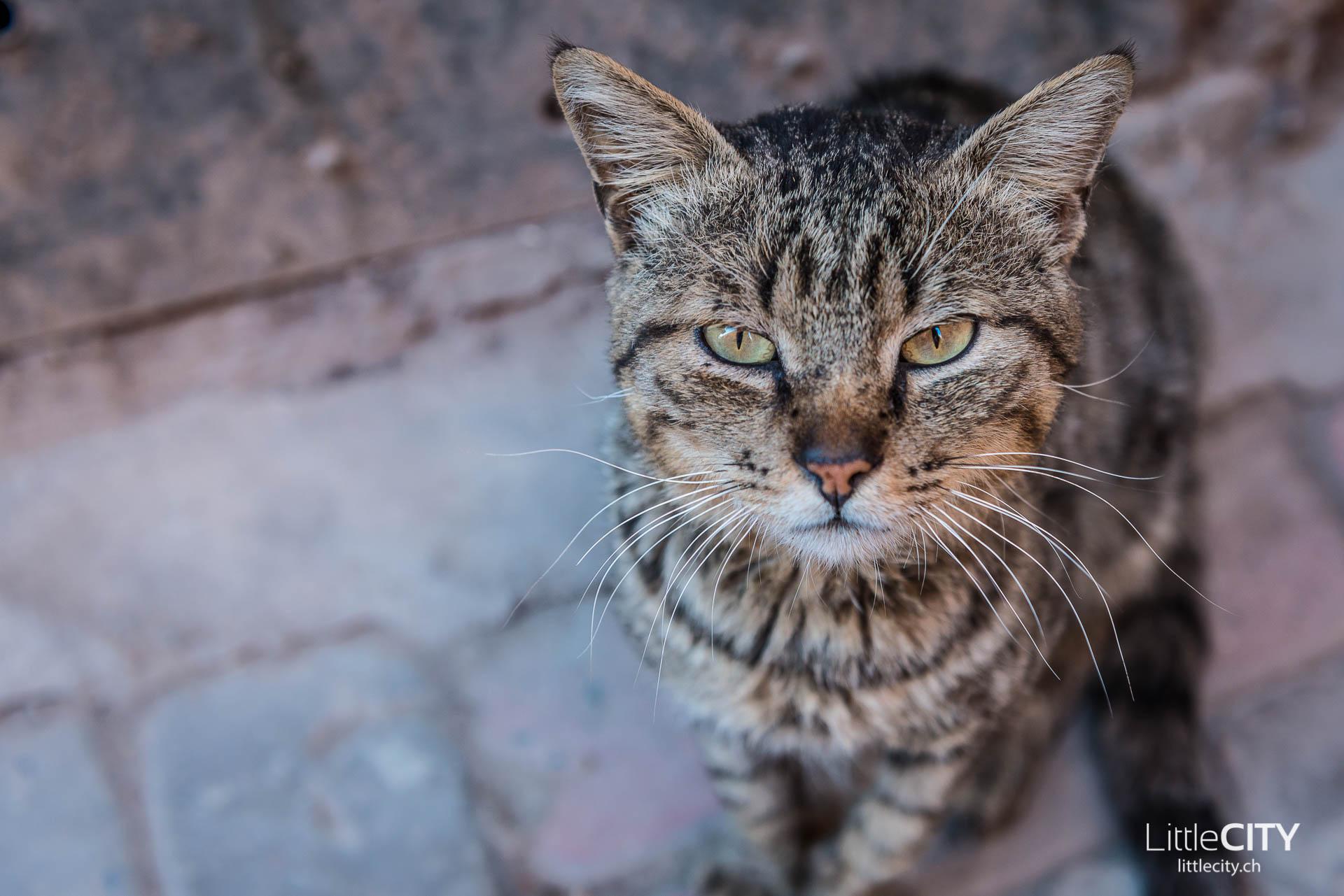 Marrakesch Katze Altstadt