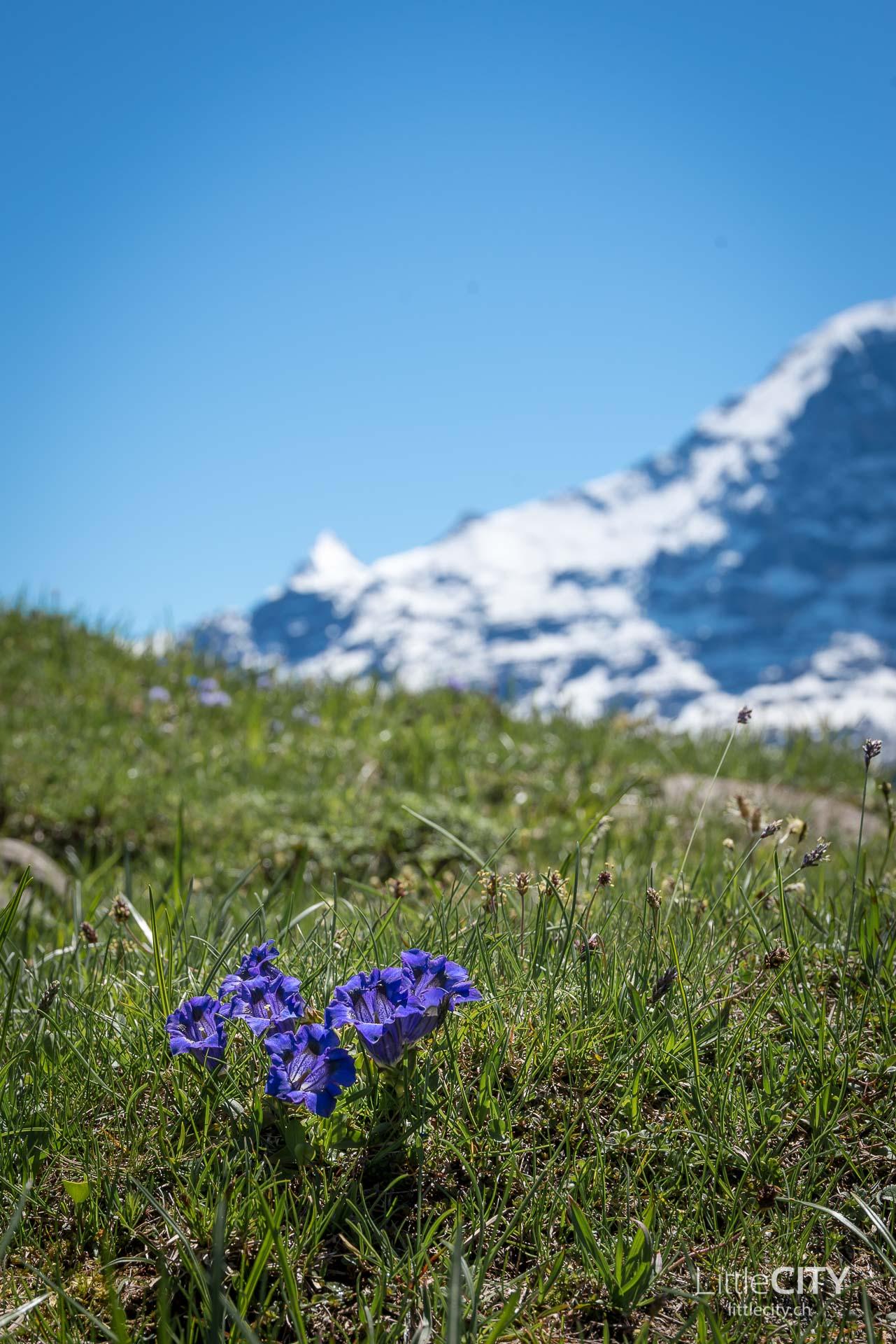 Schynige Platte Wanderung Jungfrau Bahnen LittleCITY-24