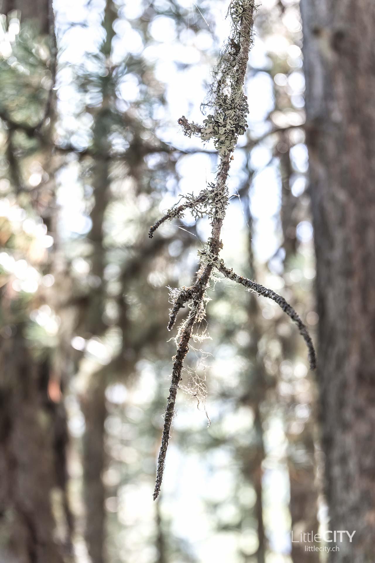 Pilze sammeln Saas Fee Wald-1