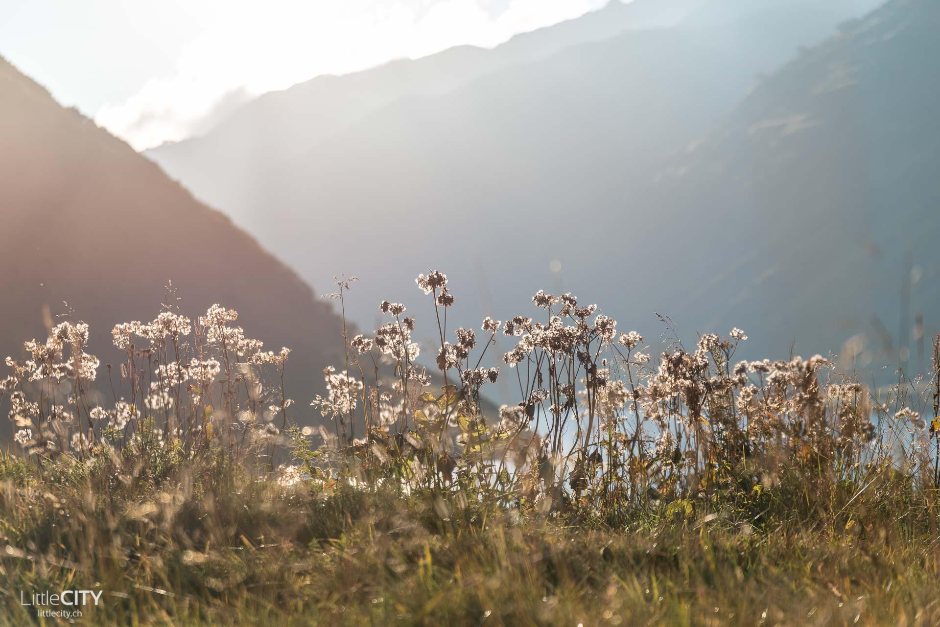 Oberalpsee Blumen-1