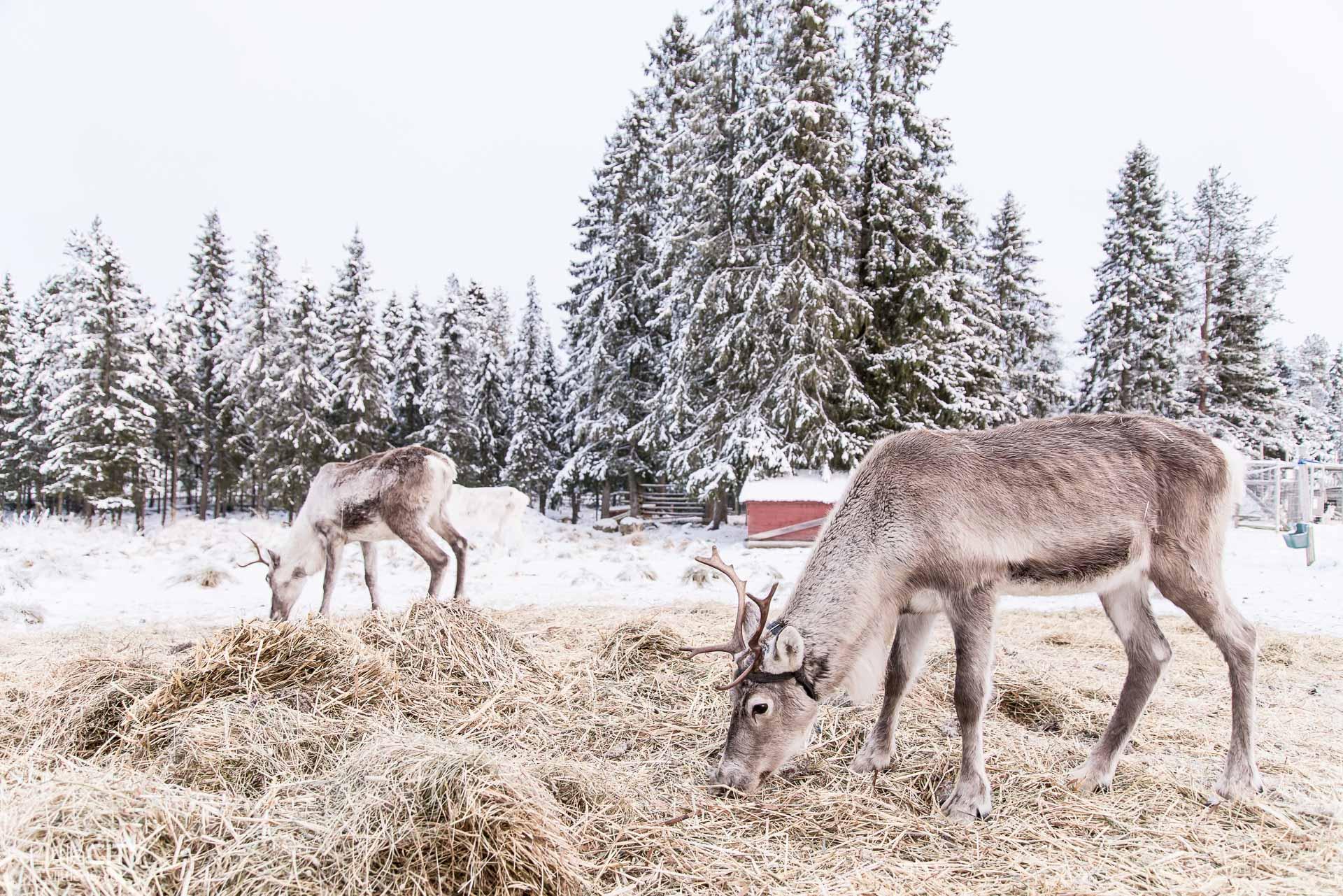ruka-kusamo-huskyfarm-erae-susi-renntiere