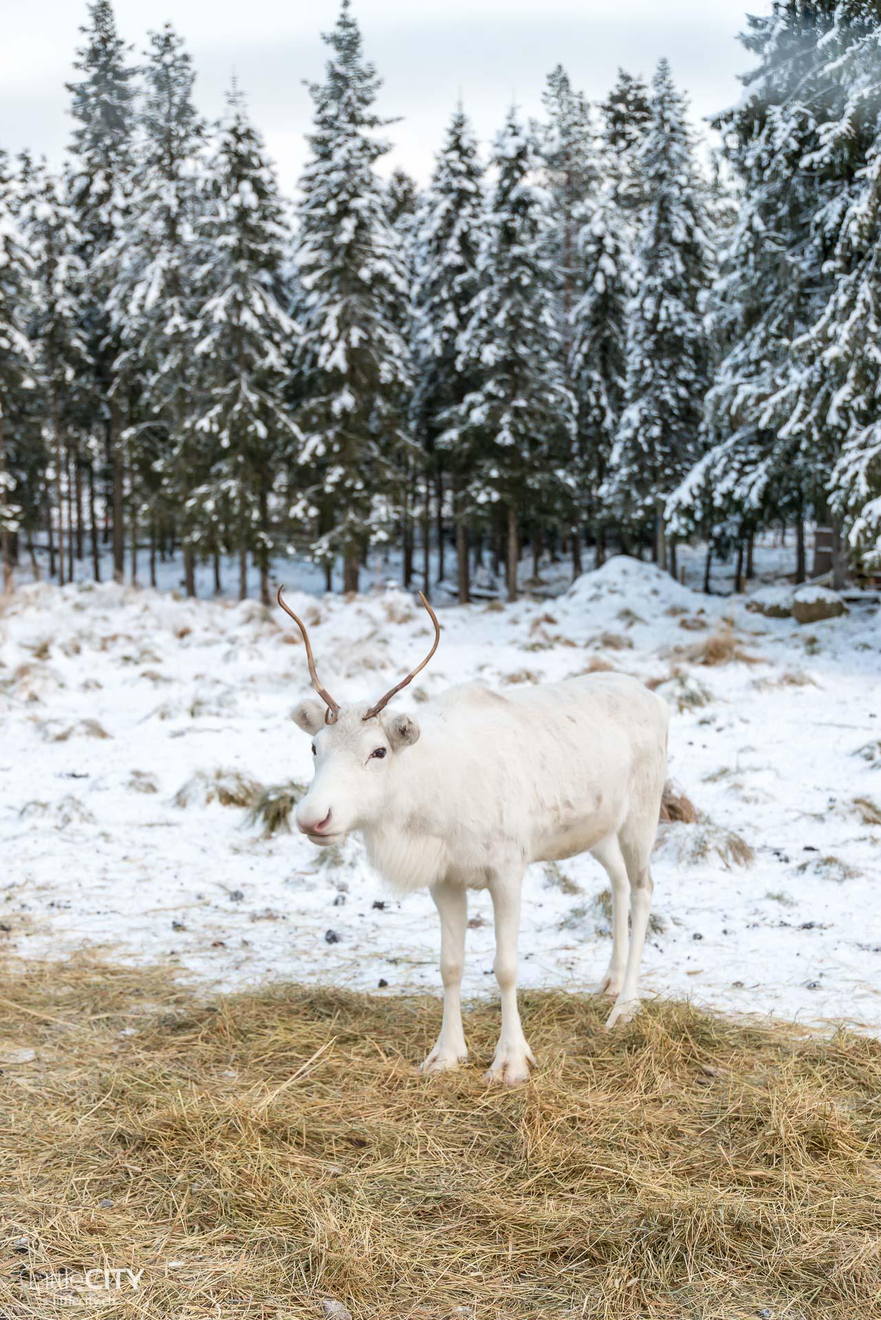 ruka-kusamo-renntiere-huskyfarm-erae-susi