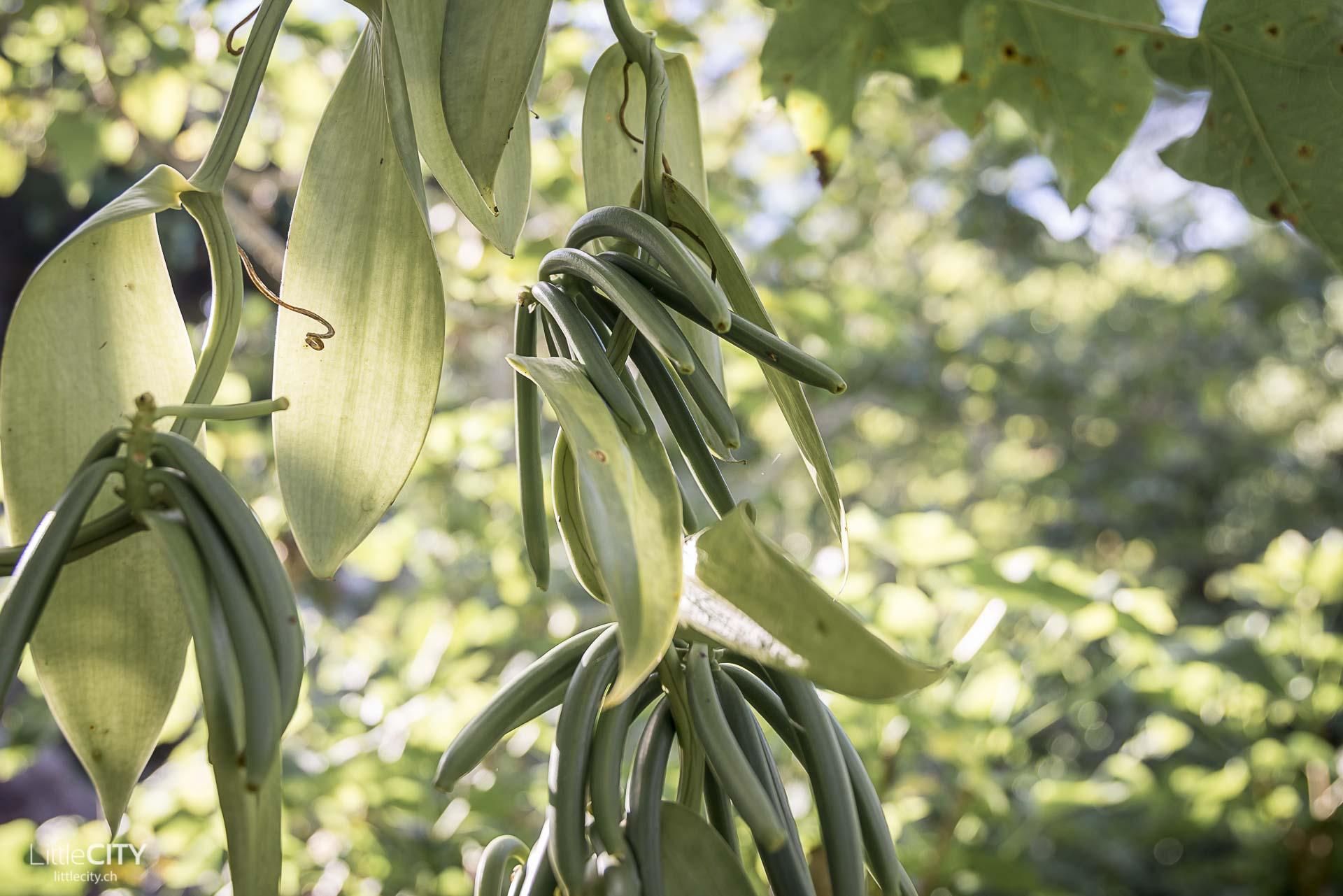 Vanille Baum Jardin du Roi Seychellen