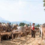 Viehschau in Gais, Appenzell