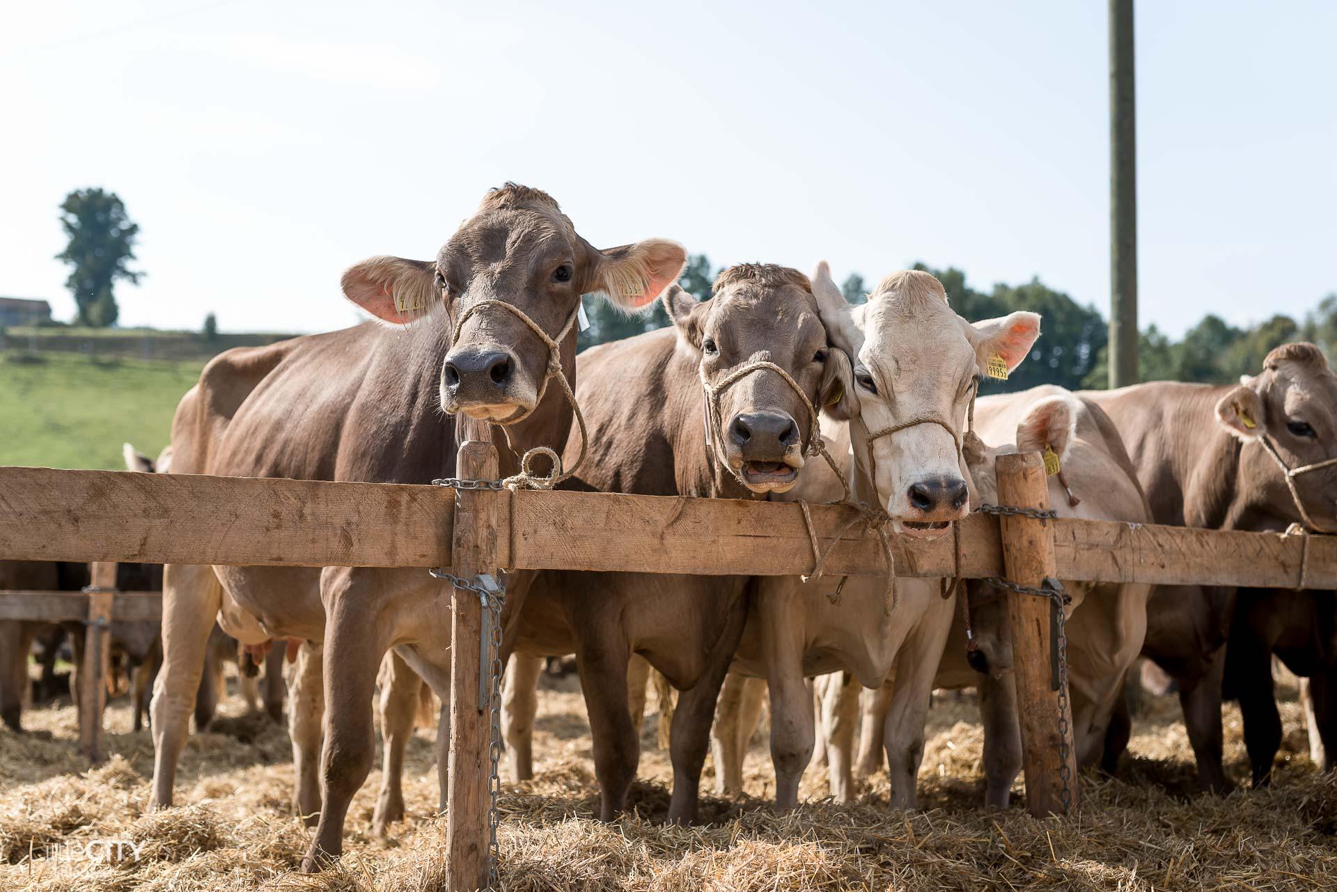Viehschau in Gais, Appenzell Kühe