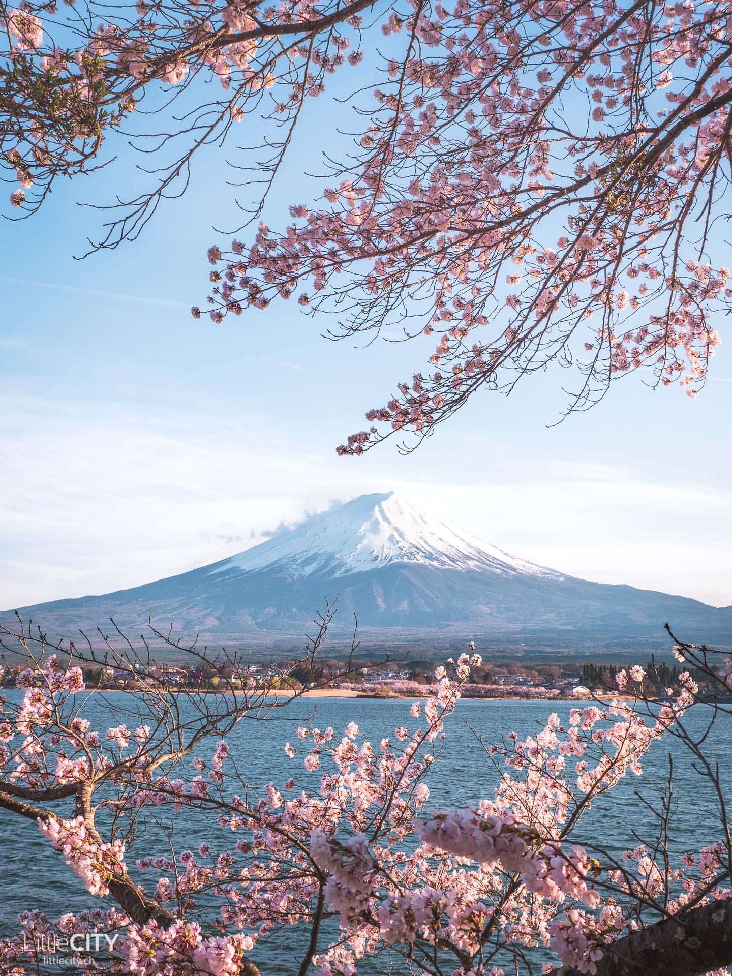 Fuji Kawaguchiko Cherry Blossoms Sakura