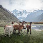 Peru Cordillera Blanca Trecking Lamas